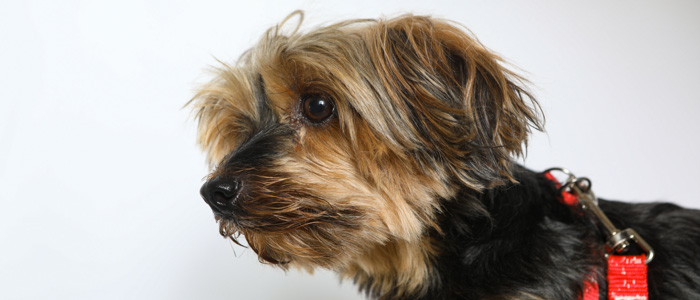 Yorkie Behavior Problems Healthguidance