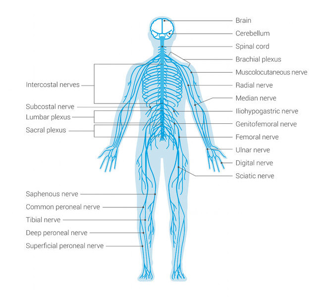 how to strengthen and quicken your central nervous system