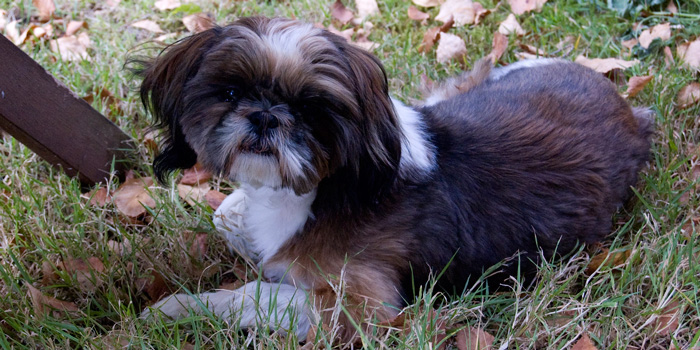 Vaccinating Your Shih Tzu Healthguidance